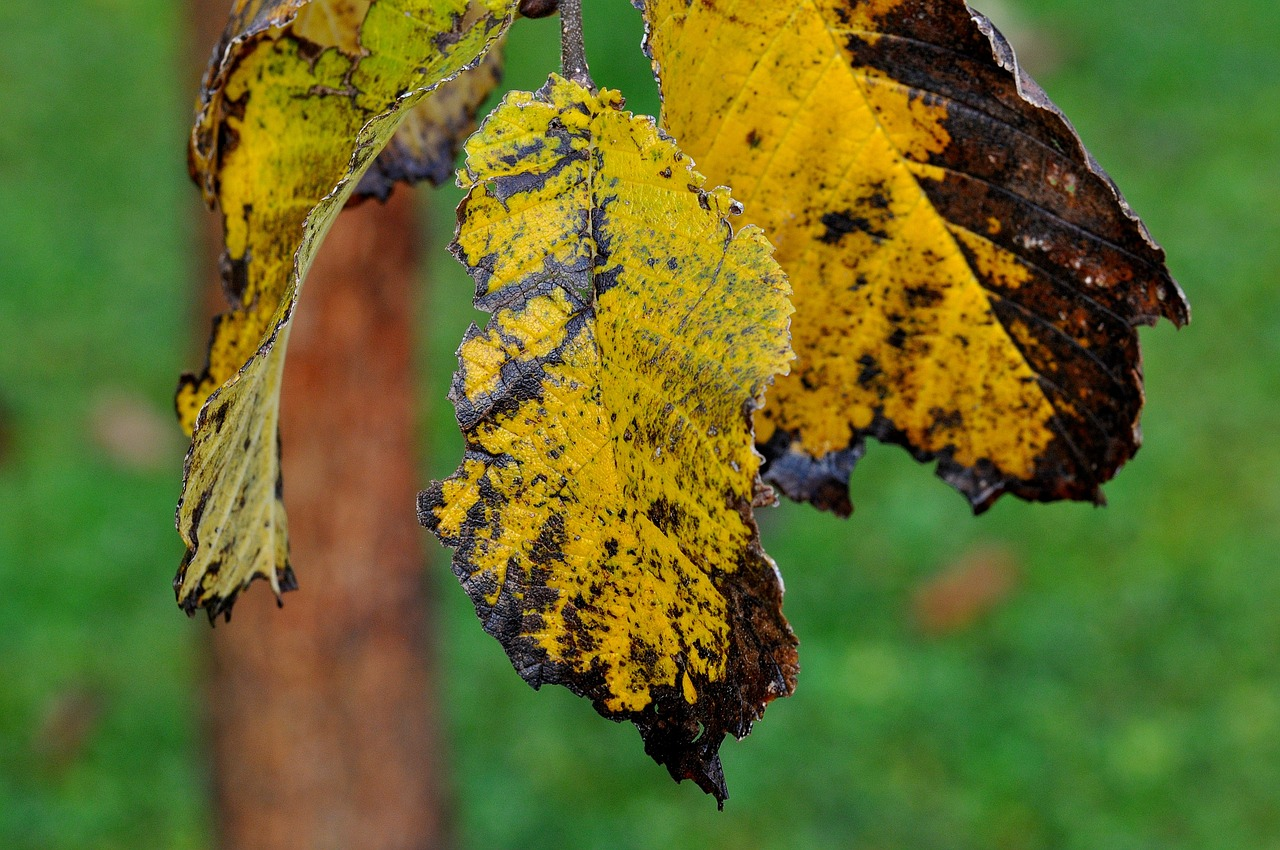 Three elm leaves that are yellow and dying. The elm leaves have holes on the edges. There is a black or dark brown color on the edges as well.