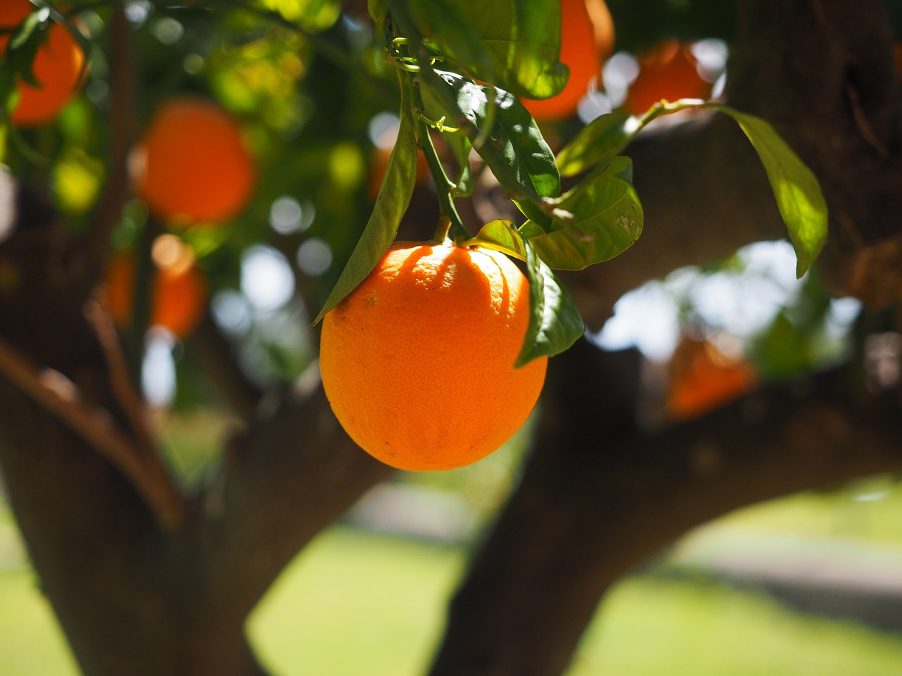 A tree with oranges growing on them. The article is about citrus greening a disease that effects oranges.
