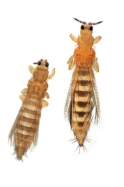 two Thrips insect with white background